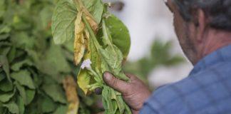 Την αποκατάσταση των καπνοκαλλιεργειών από τον ΕΛΓΑ ζητά η αντιπεριφερειάρχης Πιερίας