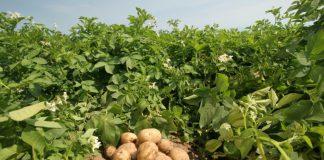 Μειωμένη φέτος η καλλιέργεια ανοιξιάτικης πατάτας