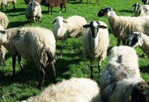 Ένταξη 690 κτηνοτρόφων στο πρόγραμμα Διατήρησης Αυτόχθονων Φυλών