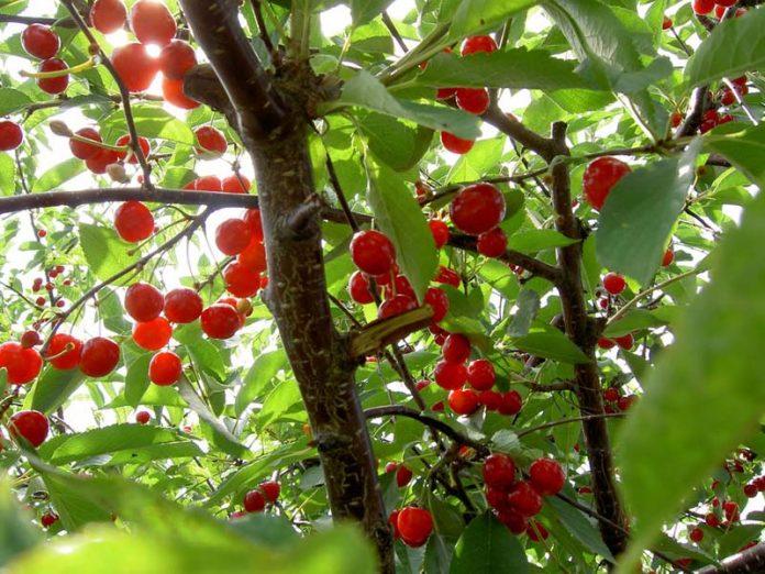 Τρίπολη: Εκδήλωση για την καλλιέργεια της κερασιάς την Τρίτη 26/01
