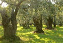 Νέες καλλιεργητικές πρακτικές στο όργωμα των ελαιώνων