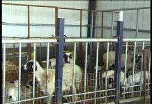 Τροχοπέδη στην κτηνοτροφία η μη πραγματοποίηση αιμοληψιών σε ζώα, λέει η Αντιπερ/χης Κρήτης Θ. Βρέντζου