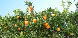 Από το Φόδελε των… αιώνιων πορτοκαλεώνων