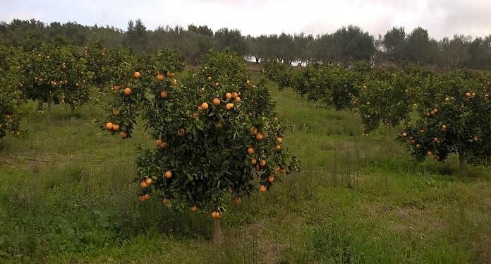 πορτοκαλεώνες στη Λακωνία