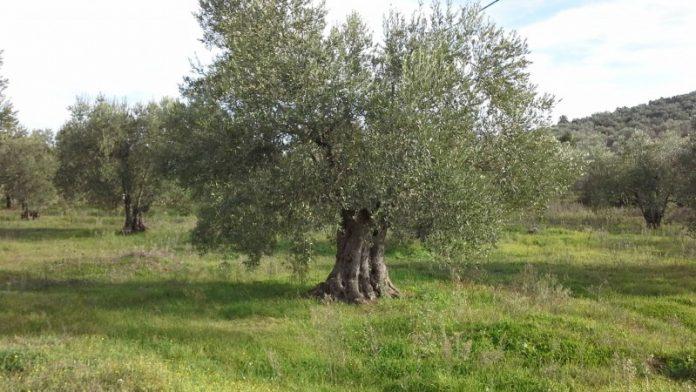 ΜΑΓΝΗΣΙΑ Οι βιοκαλλιεργητές ελαιολάδου επιμένουν