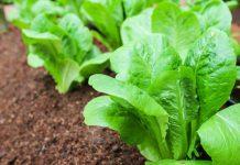 Βάση για την καλλιέργεια και άλλων κηπευτικών το μαρούλι
