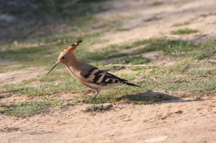 Πρόγραμμα επιτήρησης του πυρετού του Δυτικού Νείλου στα ιπποειδή και τα άγρια πτηνά