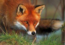 Παράταση των εμβολιασμών των κόκκινων αλεπούδων δίνει η ΠΚΜ