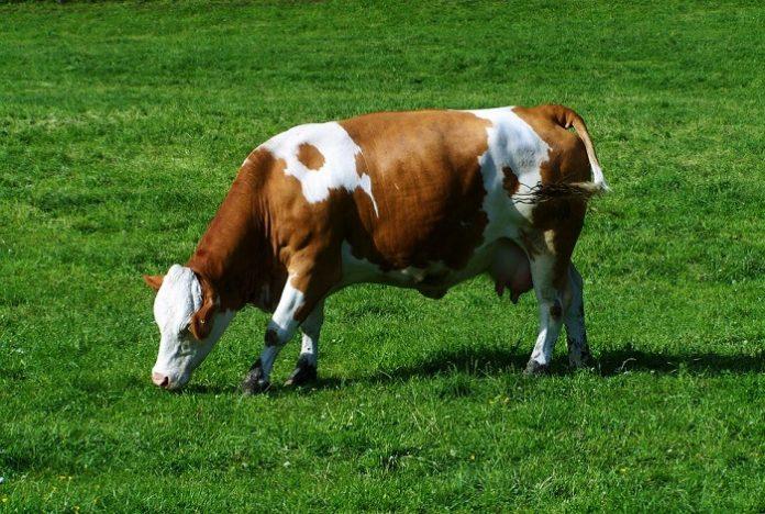 Ευρώπη, βιομηχανίες και σούπερ μάρκετ οδηγούν σε αφανισμό τους αγελαδοτρόφους