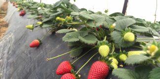 Αναίρεση υπέρ του νόμου στην υπόθεση με τις φράουλες της Ν. Μανωλάδας, άσκησε ο Άρειος Πάγος