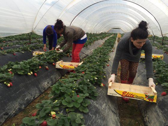 Το ypaithros.gr στις καλλιέργειες φράουλας στη Μανωλάδα