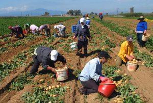 Η Αίγυπτος απειλεί την παραγωγή πατάτας