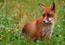 Από 3 Απριλίου και έως μέσα Μαΐου οι εμβολιασμοί αλεπούδων με εναέριες ρίψεις