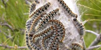 Σε έξαρση βρίσκεται και φέτος το φαινόμενο εισβολής πιτυοκάμπης (πευκοκάμπια) στο δάσος του Σέιχ Σου.
