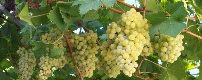 Η Καβάλα αναζητά ποικιλίες ν' αντικαταστήσει την σουλτανίνα