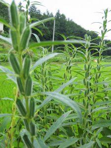 Σουσάμι άνοιξε την πόρτα της ανάπτυξης στη γεωργία