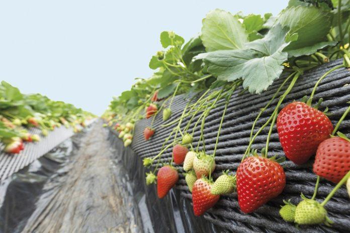 Οι φράουλες απειλούν τον υδροφόρο ορίζονα