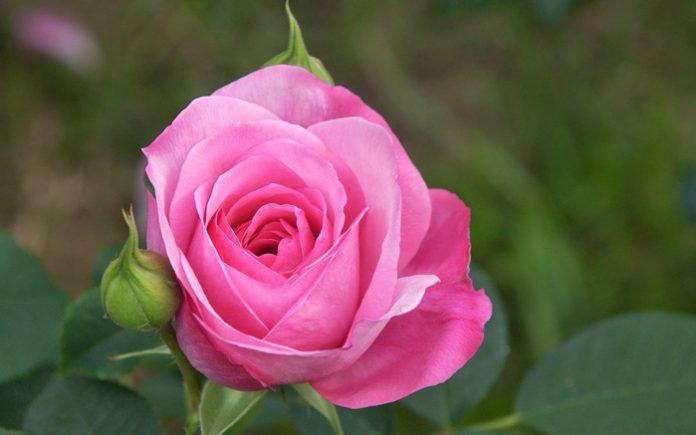 Βόιο Κοζάνης: Το τριαντάφυλλο απειλεί τη δόξα του κρόκου