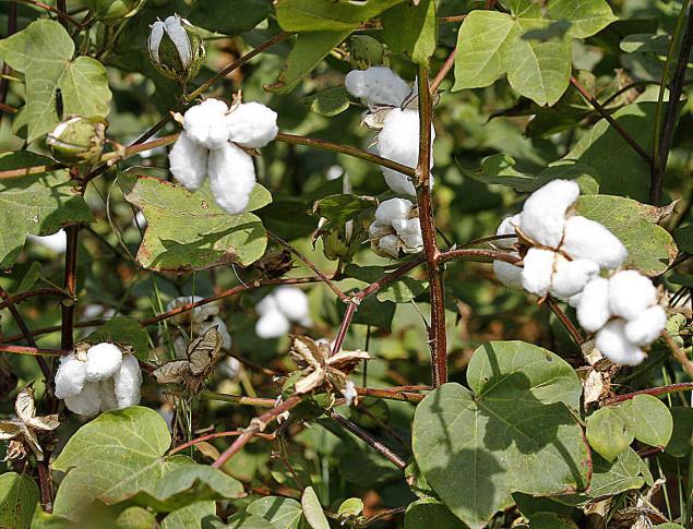 ΔΑΟΚ Σερρών: Βασικές οδηγίες για την καλλιέργεια του βαμβακιού