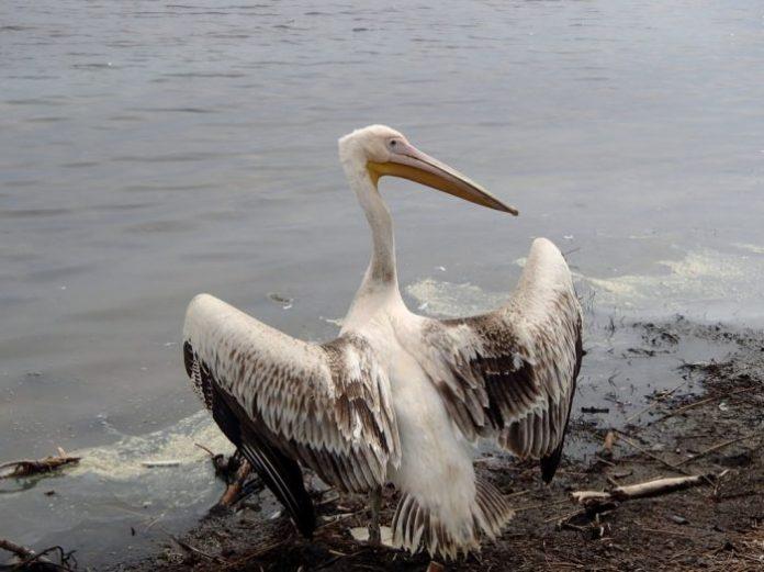 Απελευθέρωση Ροδοπελεκάνου στη λιμνοθάλασσα του Αγιάσματος