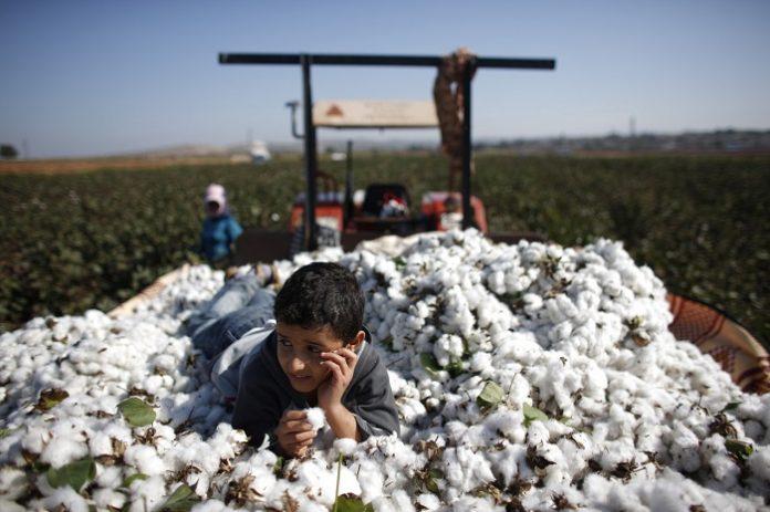 Προβλέψεις για αύξηση της τουρκικής παραγωγής βάμβακος