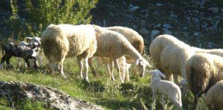 Στα 55,2 εκατ. ευρώ ο συνολικός προϋπολογισμός της συνδεδεμένης στον τομέα πρόβειου και αίγειου κρέατος