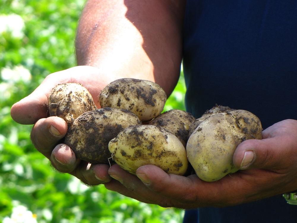 Στη Νότια Αλμωπίας η πατάτα «καρπίζει» αυξημένο εισόδημα