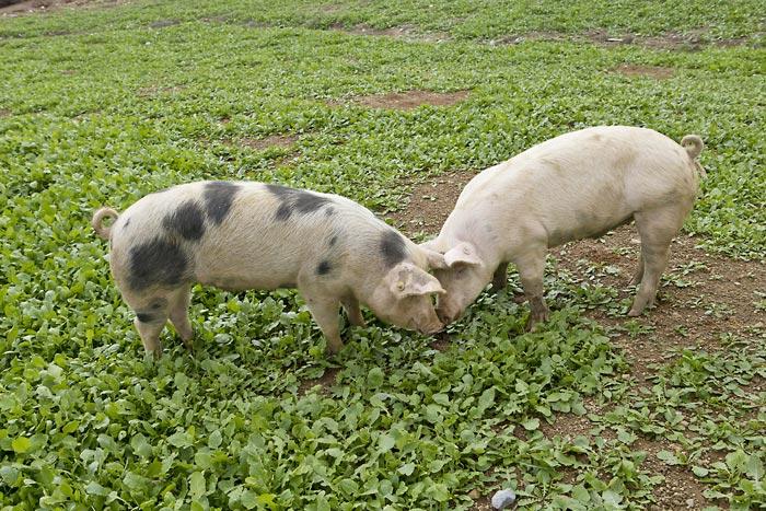 Φάρμα βαβουράκη: Βιολογικό χοιρινό και πίστη στην παράδοση