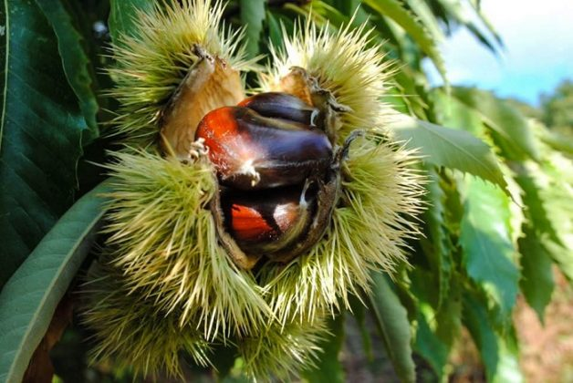 «Γλυκομαγεία» ένας επισκέψιμος καστανεώνας στην καρδιά του Πάικου