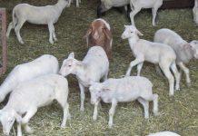 Αύξηση των de minimis στα 50 εκατ. ευρώ και ενίσχυση όλων των αιγοπροβατοτρόφων ζητάει Ο ΣΕΚ