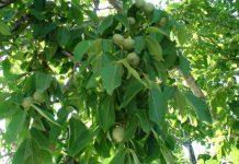 Kαρυδιά: Μέτρα από την αρχή της βλάστησης