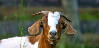 Μεγάλες οι ανάγκες νερού της κτηνοτροφικής παραγωγής
