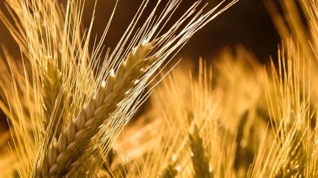Μικρή μείωση στη παραγωγή δημητριακών και αύξηση στο καλαμπόκι