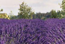Λεβάντα: Ο βασιλιάς των αρωματικών φυτών γίνεται έλαιο