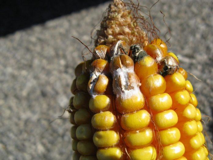 Προβλήματα στην κτηνοτροφία από την εμφάνιση μυκοτοξινών στις ζωοτροφές