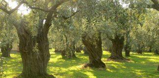 Σε κίνδυνο τα ελαιόδενδρα της Ηλείας