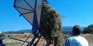 Τα αρωματικά φυτά κερδίζουν έδαφος στον Αλμυρό Μαγνησίας