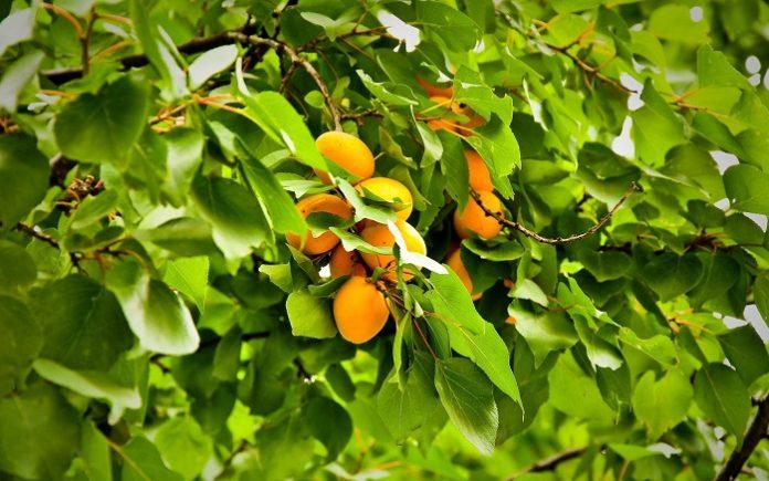 Ημερίδα για τις νέες εξελίξεις στην καλλιέργεια της Βερικοκιάς στην Χαλκιδική