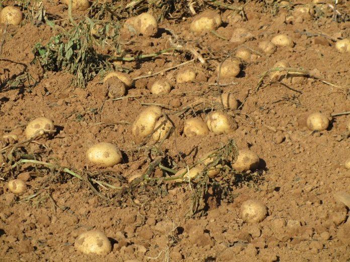 Ώρα μηδέν για την ανοιξιάτικη πατάτα Μεσσηνίας