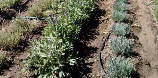 Αργολίδα: Ερωτήματα για τα αρωματικά φυτά