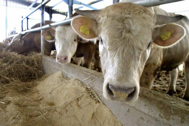 Διευκρινήσεις της Π.Ε.Κ.Δ.Υ. για τις παράνομες σφαγές ασθενών βοοειδών στην Πολωνία