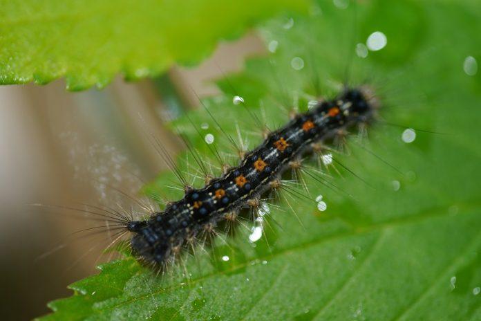 Έντομο απειλεί τις καλλιέργειες σε Γραβιά και Πολύδροσο