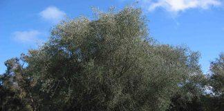 Διημερίδα για την καλλιέργεια της Ελιάς στη Σαμοθράκη