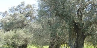 Προβλήματα προκαλεί η ξηρασία στους ελαιοπαραγωγούς της Κυνουρίας