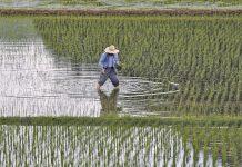 Κίνα: Η φετινή παραγωγή σιτηρών μειώθηκε κατά 2,2%, από την προσπάθεια αναδιοργάνωσης της γεωργικής παραγωγής