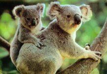 Κουίνσλαντ: Κονδύλιο 8,91 εκατ δολαρίων, για τη διάσωση των κοάλα