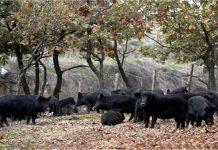 Ελληνικός μαύρος χοίρος, η αρχαιότερη αυτόχθονη φυλή