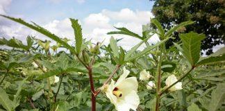 Η απαιτητική και ευαίσθητη καλλιέργεια της μπάμιας