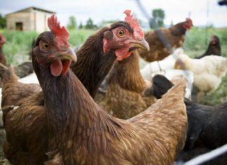 Νέα ταλαιπωρία για τους εργαζόμενους σε πτηνοσφαγείο στην Τανάγρα