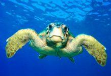 Διάσωση χελώνας καρέτα-καρέτα στο Εθνικό Πάρκο ΑΜ-Θ